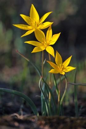 La Tulipe méridionale