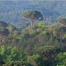 Forêt de pins dans la plaine des Maures