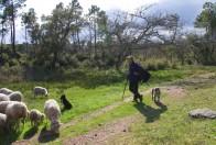 Berger Christophe Oliveiro et, son troupeau de 280 brebis et ses 4 chiens
