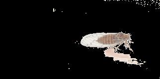 Cigale grise en-tête