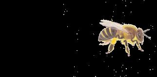 abeille_domestique